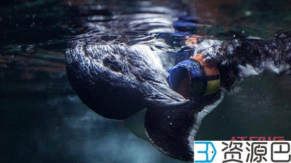 1598666460-d62b5163512fb4a.jpg-插件-安上了3D打印假肢,这只小企鹅又能快乐地行走了!