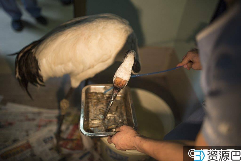 丹顶鹤+3D打印钛合金鸟喙,从此制霸动物园!插图15